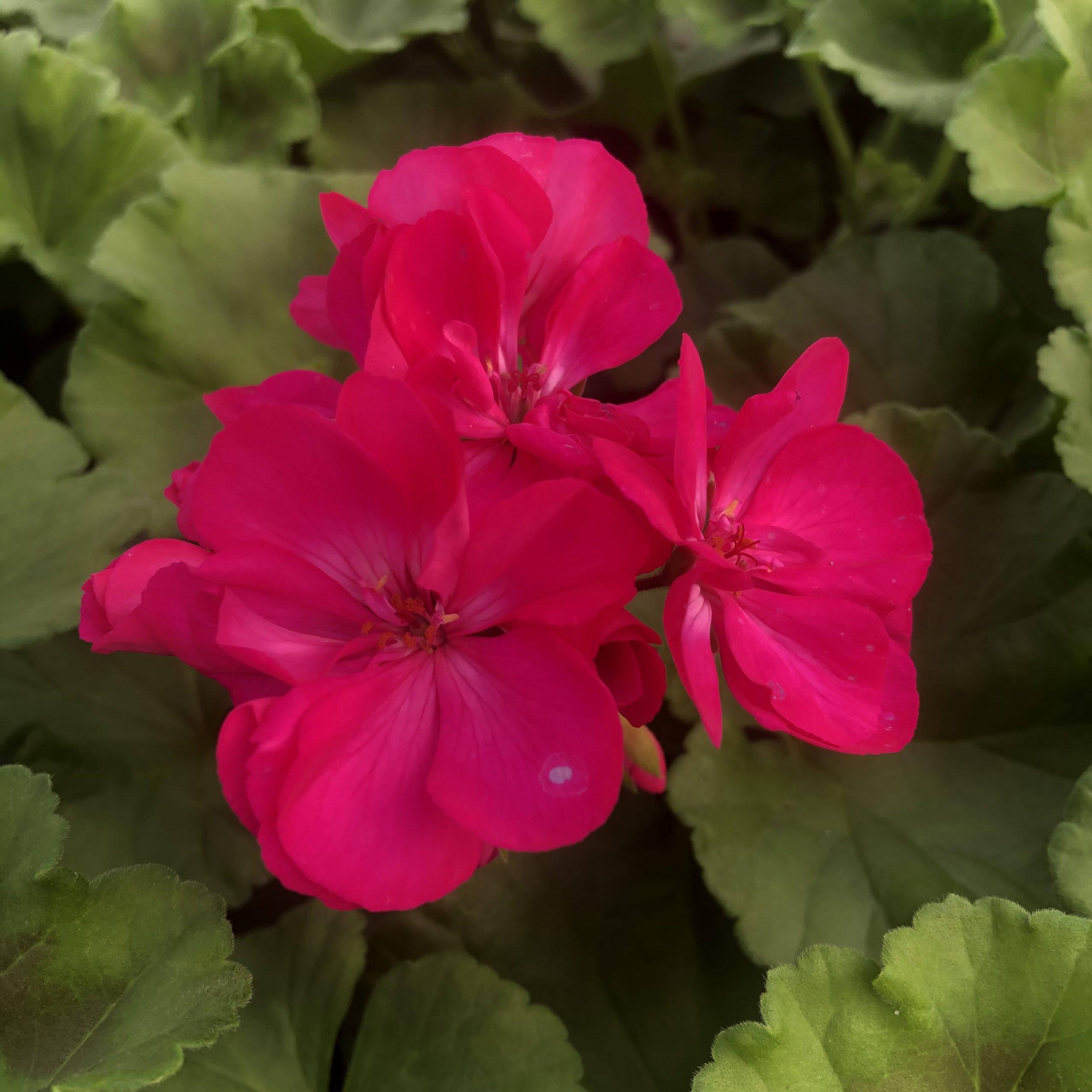 Géranium zonale violet pot 13 cm
