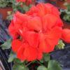 Géranium zonale rouge pot 13 cm