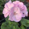 Géranium Pied Mère Zonale Rose C 4 litres