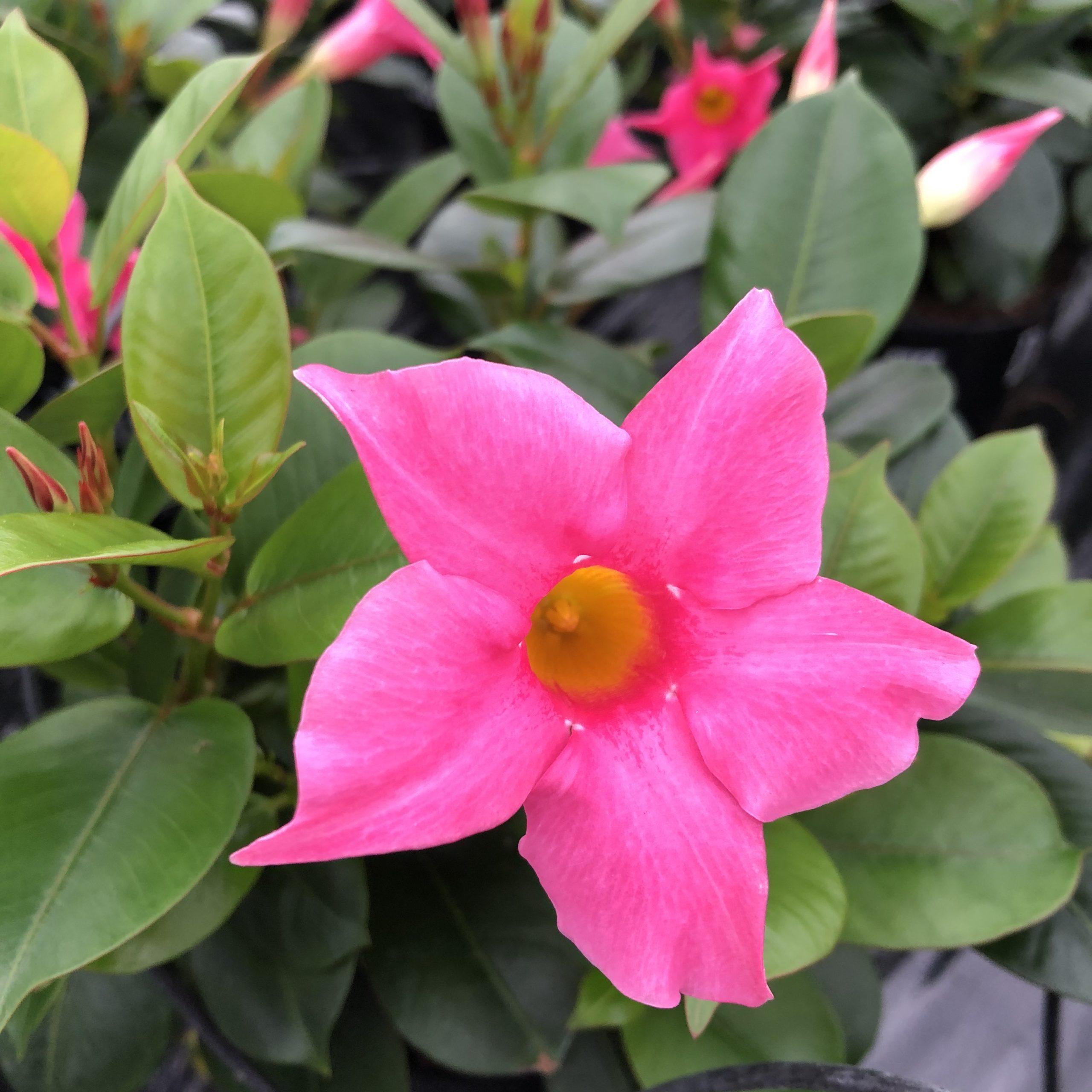 Dipladenia Rose Pot 13 cm
