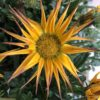 Gazania Soleil de Nice Varié pot 11cm
