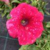 Pétunia Retombant Rose Pot 11 cm