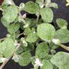 Helichrysum Sylver Pot 11 cm