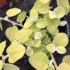 Helichrysum Gold Pot 11 cm