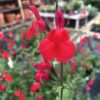 Sauge Arbustive  Salvia Grahiniii rouge 2 litres