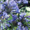 Agapanthe Bleu C2L