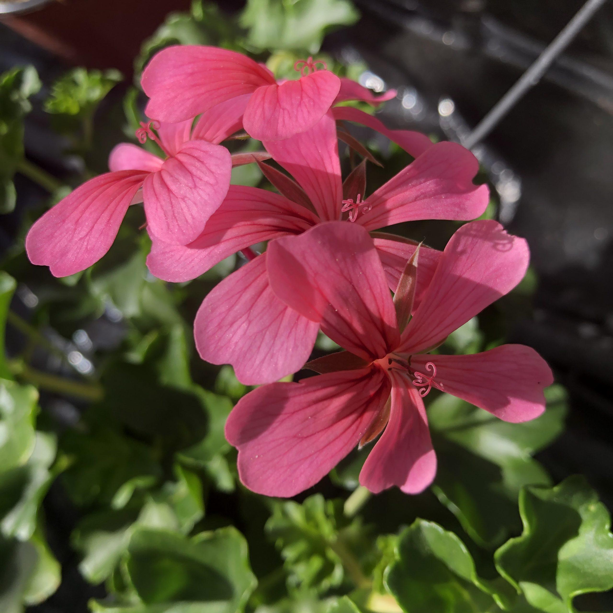 Géranium Lierre Fleurs simples Rose Pot 15 cm