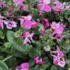 Diascia Petites Fleurs Rose vif Pot 11 cm