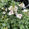 Diascia Petites Fleurs Rose Pale Pot 11 cm