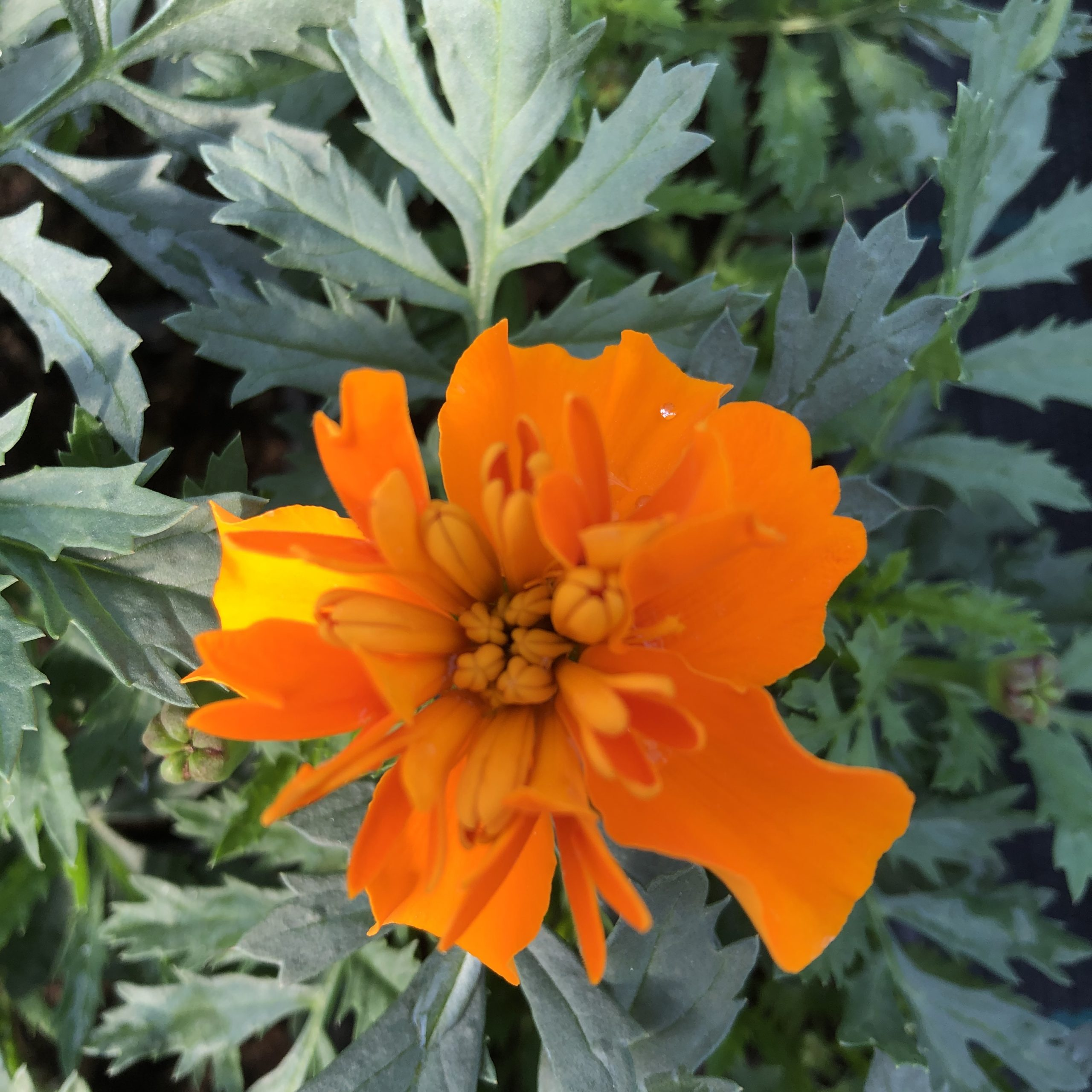 Œillet d'Inde Orange 10 godets 8 cm