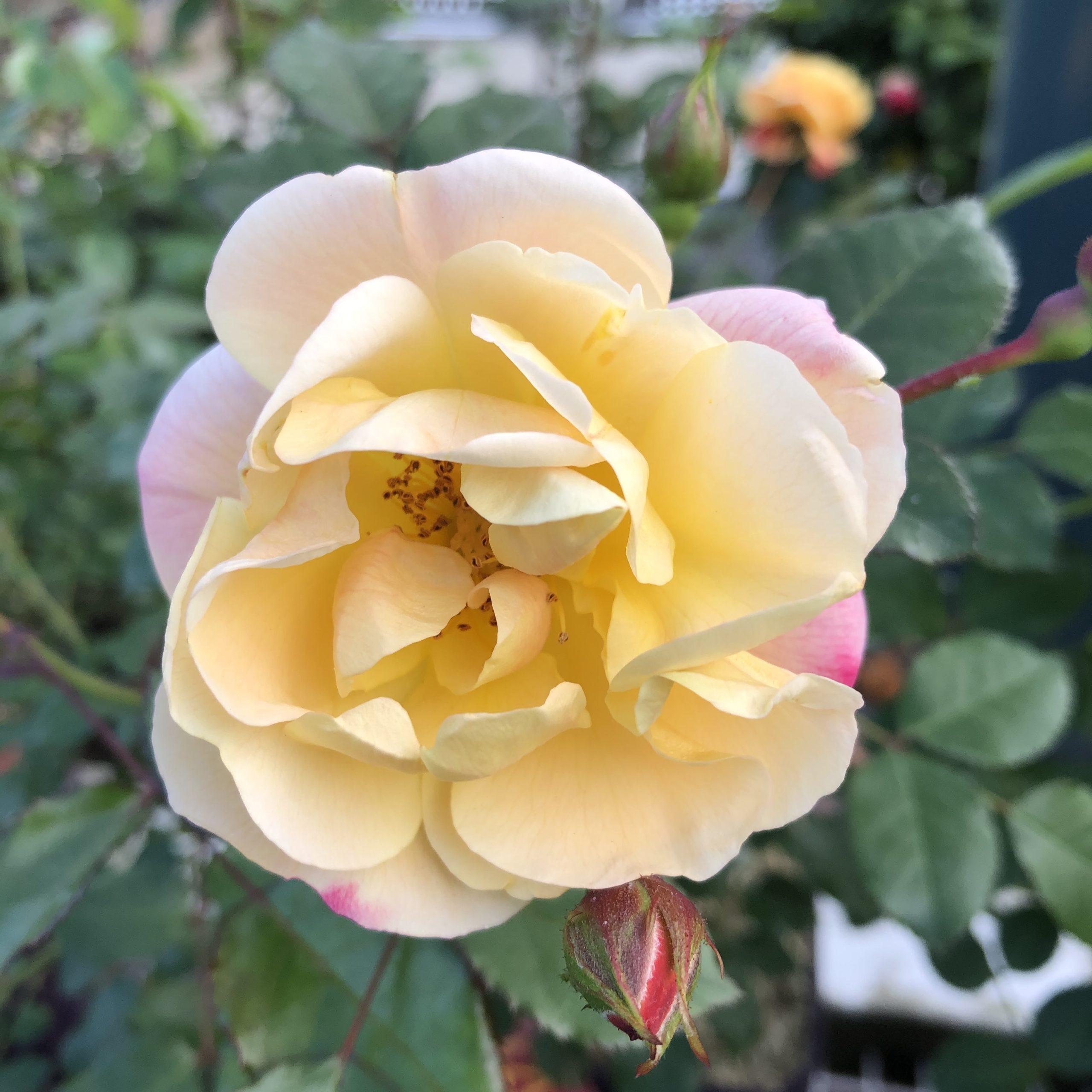 Rosiers Petite fleur Calizia 4 litres