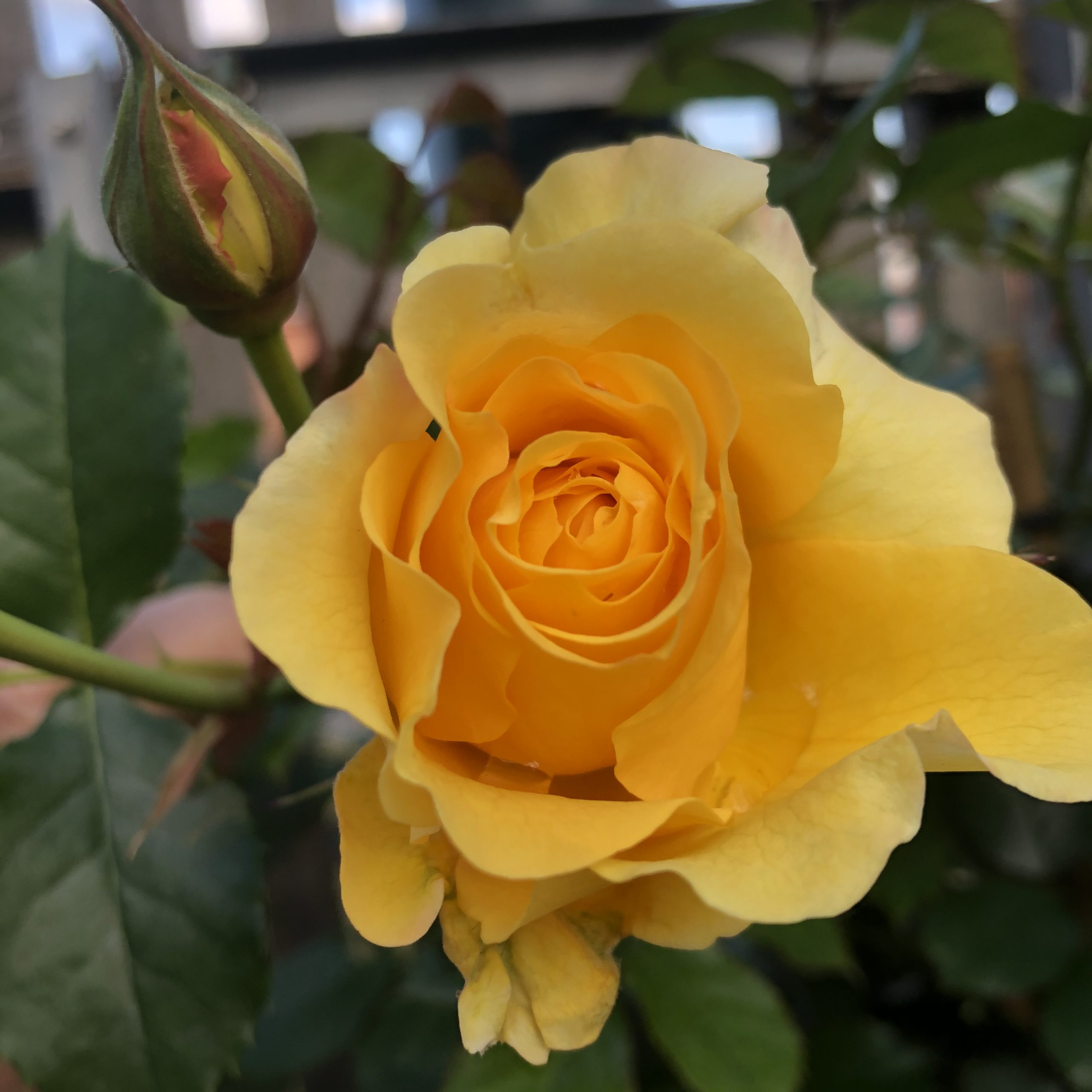 Rosiers Grosse fleur  Anisade 4 litres
