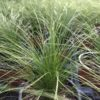 Stipa Cheveux d'ange Pot 11 cm