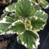 Plectantrus Feuillade Pot 11 cm