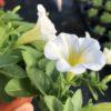 Pétunia Retombant Blanc Pot 11 cm