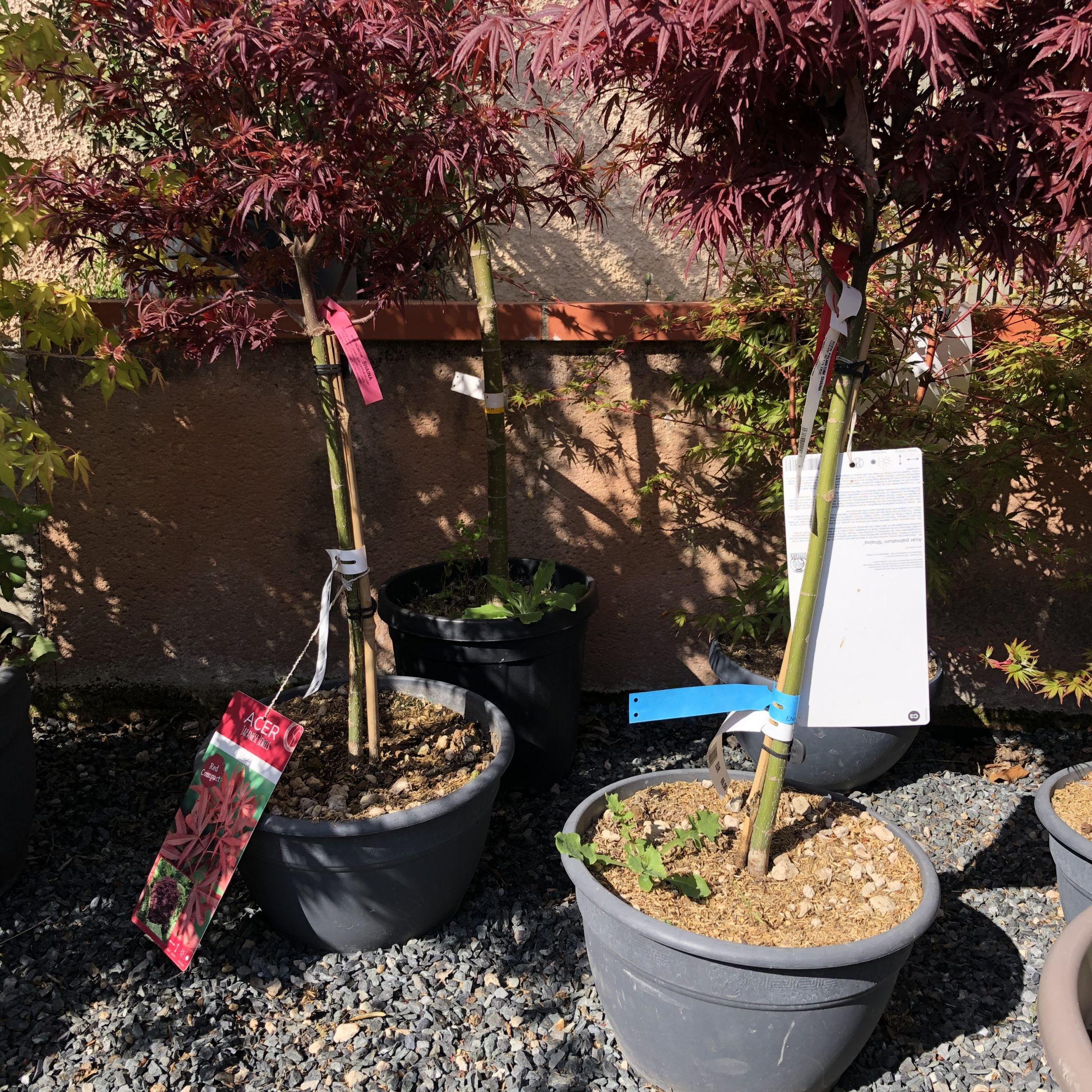 Acer Palmatum (Erable du Japon) Red Shaina 1/4 tige