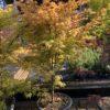 Acer Palmatum (Erable du Japon) Katsura Touffe