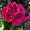 Géranium Pied Mère Zonale Rose Vif C 4 litres
