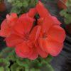 Géranium Pied Mère Zonale Rouge C 4 litres