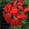 Géranium Lierre Décora Rouge Pot 13 cm