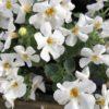 Bacopa Fleurs Blanches Pot 11 cm
