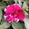 Impatiens Doubles Rose Vif Pot 11 cm