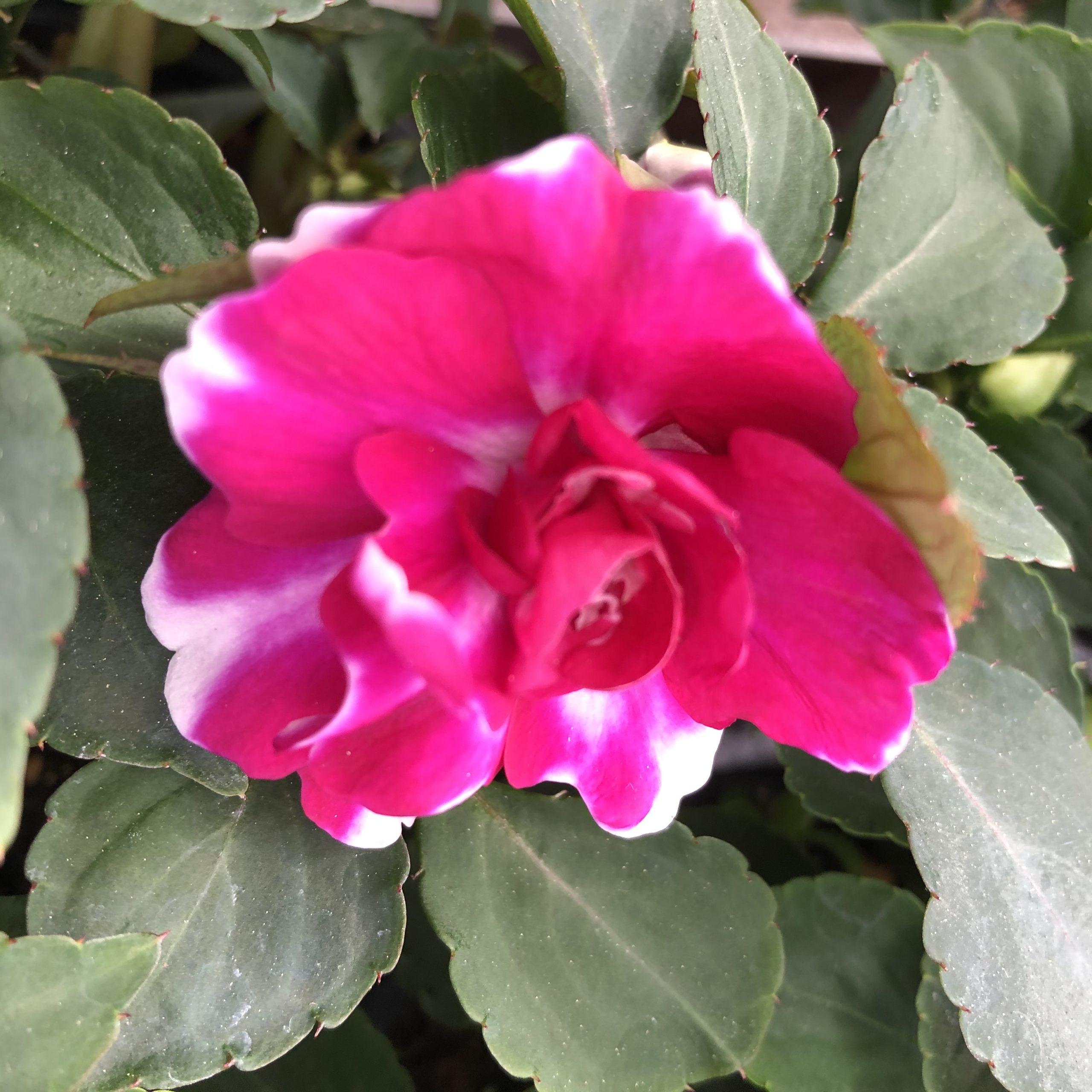 Impatiens Doubles Rose Vif Pot 11 cm