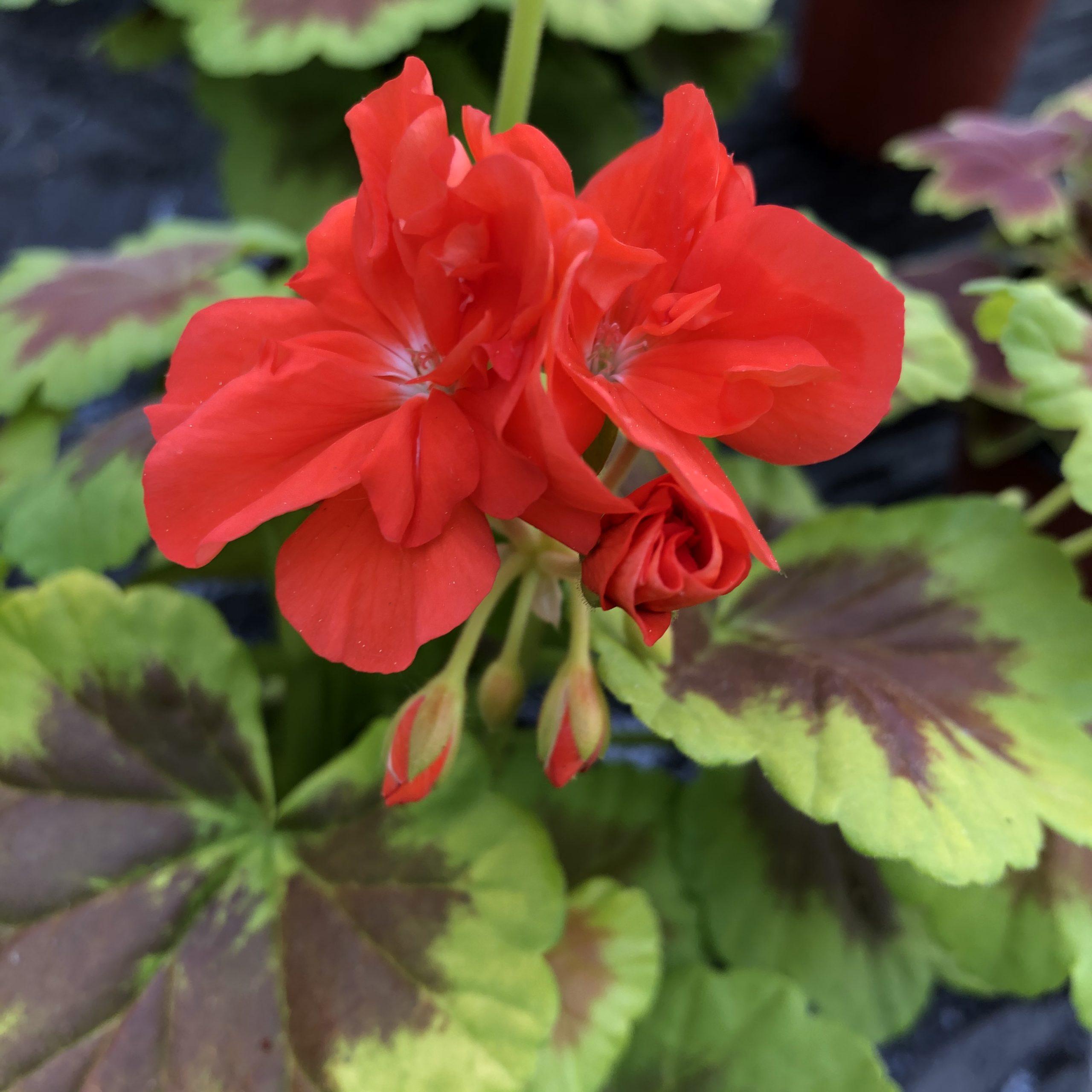 Géranium Panaché Couleurs Variées Pot de 13 cm