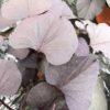 Ipomée Feuilles Larges Brunes Pot 13 cm