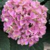 Hortensia Macrophylla rose pale 2 litres