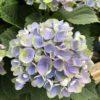 Hortensia Macrophylla bleu 2 litres