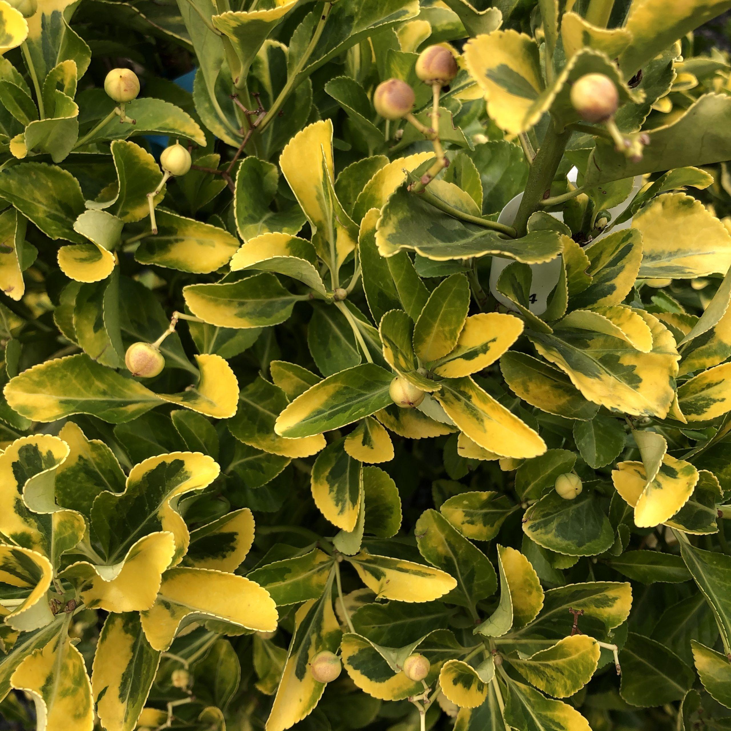 Euonymus Japonica Aureus C18l