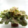 Heuchère Vert Pot 13 cm