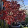 Acer Palmatum (Erable du Japon) Osaksuzi Forme Bonzaï