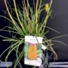 Kniphfia Pot 4 litres