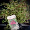 Fuschia microphyla à petites feuilles - Pot 4 litres