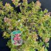 Abélia grandiflora Kaleidoscope Pot 4 l