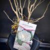 Mauve en Arbre blanc - Hibiscus Syriacus- Pot de 4 litres
