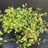 Mulhenbachia Pot 11 cm