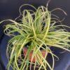Carex Evergold Pot 13 cm