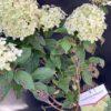 Hydrangea Paniculata Lime Light Pot 4 litres