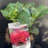 Hydrangea Macrophylla Rose Pot 2 litres