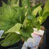 Hydrangea Macrophylla Bleu Pale C2l