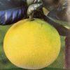Pamplemoussier