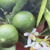 Citronnier vert Lime