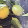 Citronnier Limequat