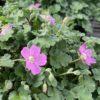 Erodium Rose Pot 2 litres