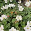 Erodium Blanc Pot de 2 litres