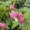 Dicentra Spectabilis Rose (Cœur de Marie) Pot 2 litres